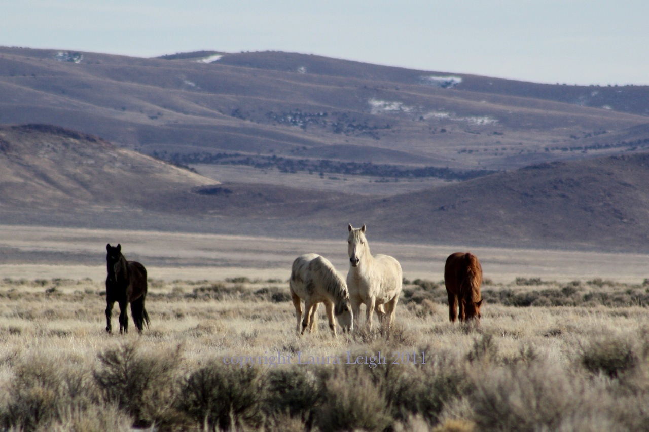 Horses in the little colorado herd management area - Antelope Complex Wild Horses