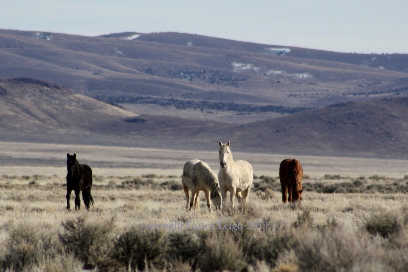 Wild horses, the only target ranchers ever open fire on.