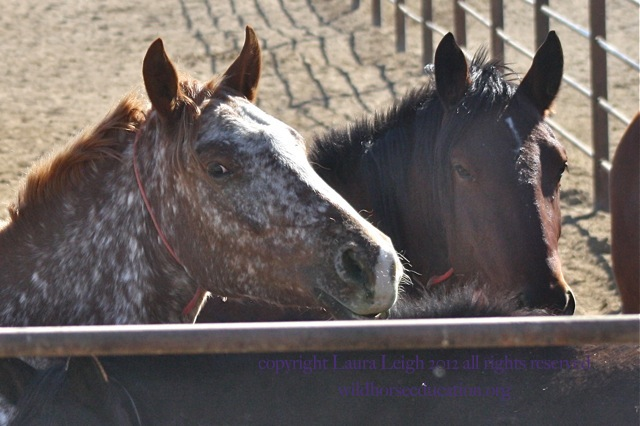 Horses born in Broken Arrow, off limits facility in Fallon NV, barely have any chance to be seen and adopted.