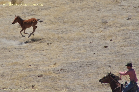 New foal being chased after being run for miles by helicopter, separated from family, to be roped in the sweltering Nevada heat in June.