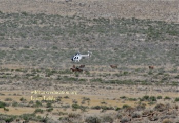 "Wild horses being driven during a supposed ""drought"" emergency during foaling season right through private cattle on the range"
