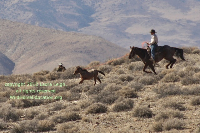 Colt roped in Yerington at the Wassuk roundup... where horses had not been removed in almost 30 years. Before two huge ranches went for sale... with big water rights and a Coper mine moved into town