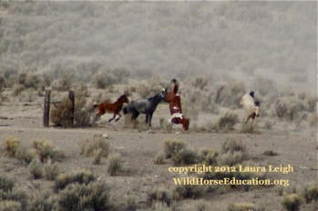 Paint falls over barbed wire, Owyhee. 4 other horses were witnessed getting caught at this same gate.