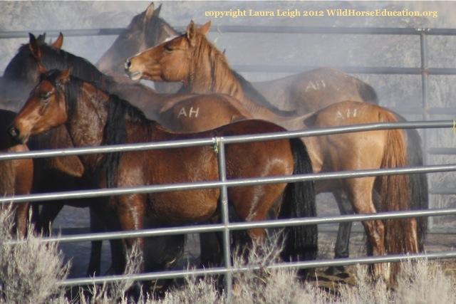 Branded horses in trap