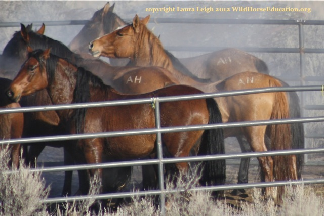Steaming branded horses in trap