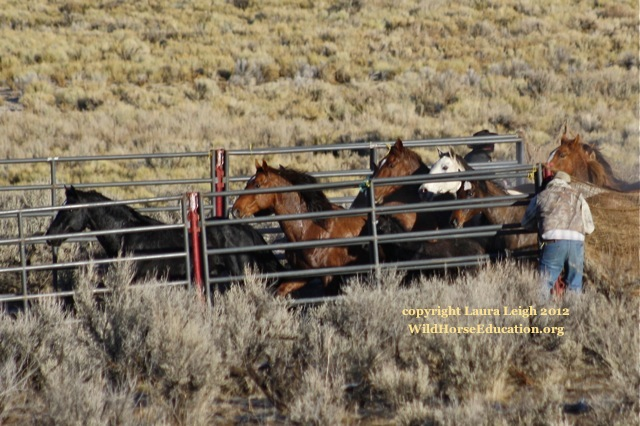 Branded horses being driven into trap