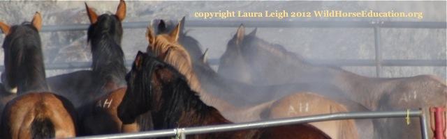 Branded horses in trap, Owyhee