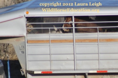 Grey with branded horses continually slipped in wet trailer