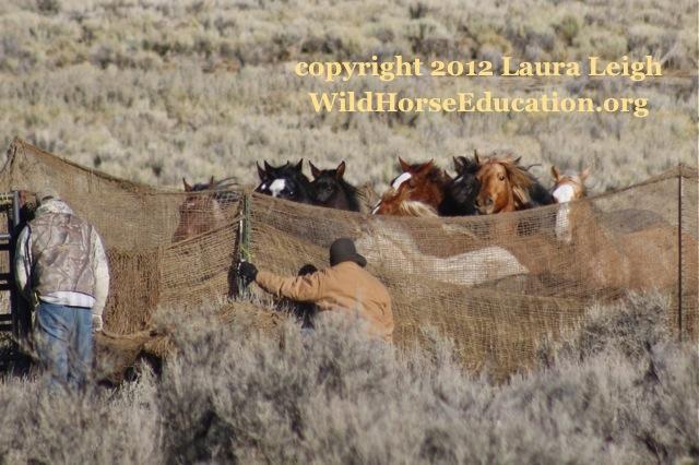 Wild horses driven into trap 12/3/2012