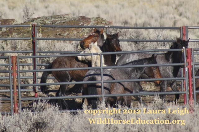 """""""Starving"""" horses in trap"""
