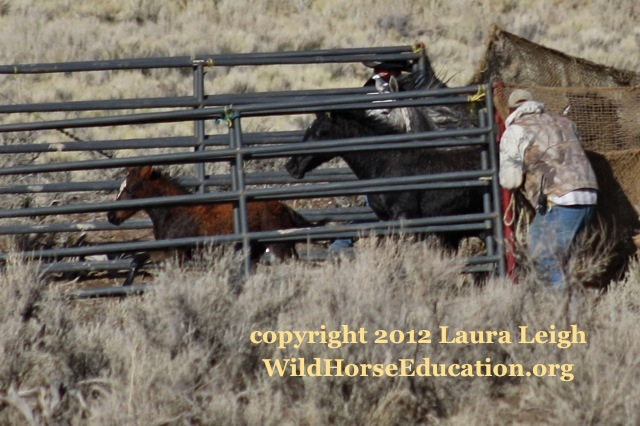 young colt that was loaded (without divider) with adults onto trailer with flooded roads