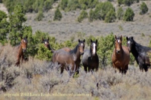 Battle Mountain horses in the Fish Creek area 2012