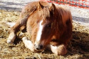 #17 sorrel filly