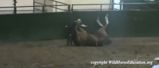 Horse Tripping happens in Nevada!