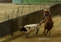 """Steer tailing (or """"cola"""") was removed from the bill. A rider chases a running steer and grabs his tail and then the steer falls."""