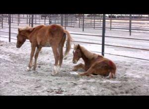 Two colts from hospital pens at Broken Arrow, bandaged feet. (Laura Leigh 2010)