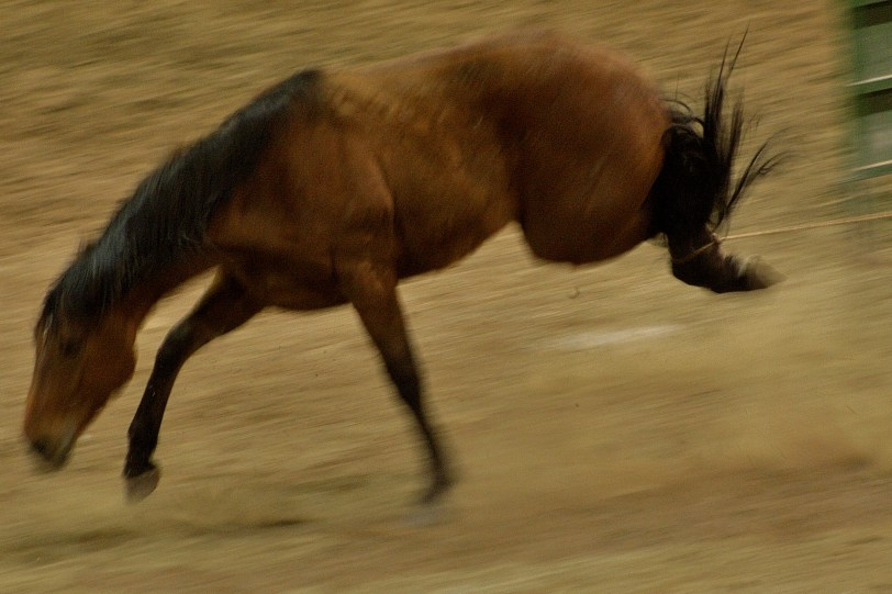 Horse Tripping in Nevada (copyright Wild Horse Ed, use by permission)