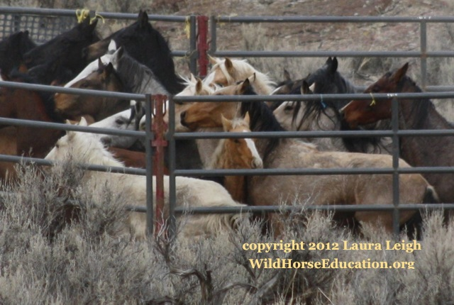 BLM horses in trap after helicopter stampede, Owyhee 2012
