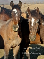 Young geldings with ringworm and papilloma virus