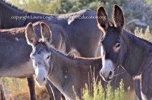 According to the NAS report released this year burros are literally slipping into extinction on public land. Will the BLM change it's ways?