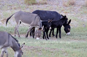 Burro family free in Nevada