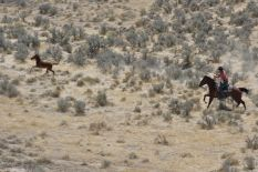 This colt, after being run across the valley and separated, leads wranglers on at least a three mile run back up into the mountain before they catch him in over 90 degree heat