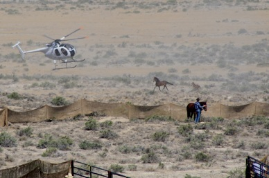 """Mare and foal refused to go into the jute as wrangler in bright shirt stood upright. Pilot chased them after capturing part of the family and sending the stud miles in the opposite direction. Mare ran toward observers and was """"let go"""" with a newborn foal and no family."""
