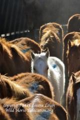 Diamond horses arrive at PVC 2013