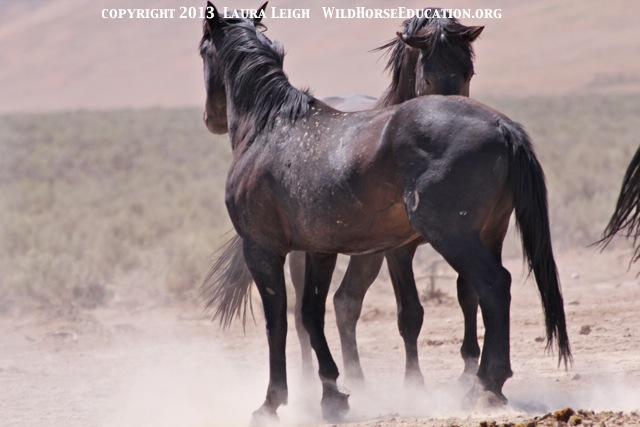 Studs postering as they come to water, Snowstorm (Owyhee)