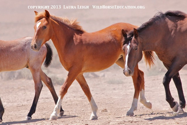 Young filly heading to water at Snowstorm (Owyhee) BLM managed area