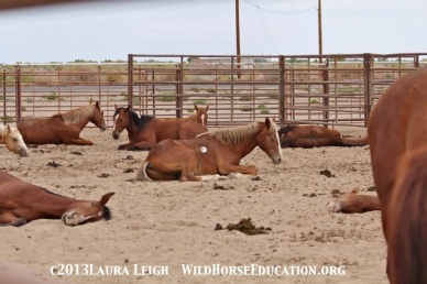 parking lot of Fallon Livestock Exchange after sorting on unbranded horses