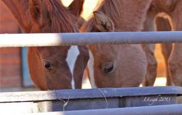 McDermitt wild horses saved from slaughter this summer from a similar roundup in Nevada http://wildhorseeducation.org