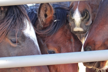 Wild horses at Palomino Valley Center looking for homes.