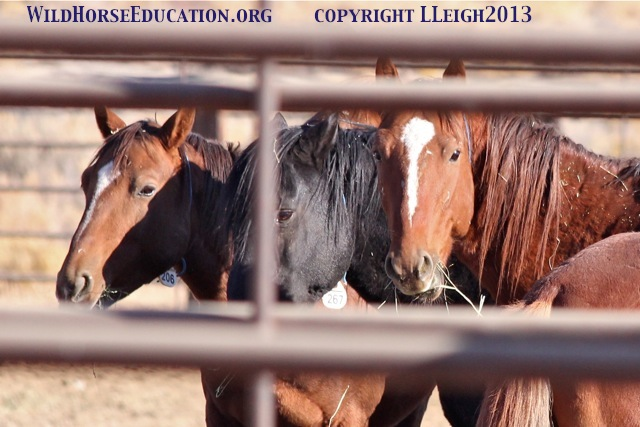Captive Sheldon Mustangs in holding prior to shipment to J&S in 2013