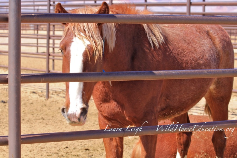 """Charlie,"" 0168. SOLID wonderful two year old from Diamond on the BLM internet adoption working on ""strike two"""