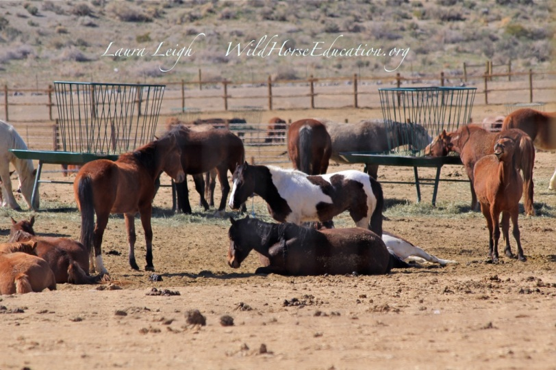 "Mares are back in their pen after ""hoof care"" rotation. This week had wild horses move in and out of PVC for the INternet adoption and people feared wild horses in this pen ""disappeared."""