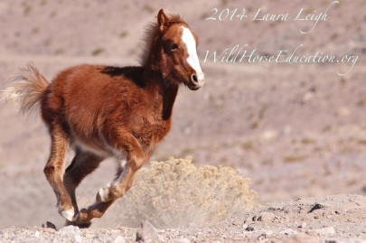 Wild horse filly running. just because she can, on the range