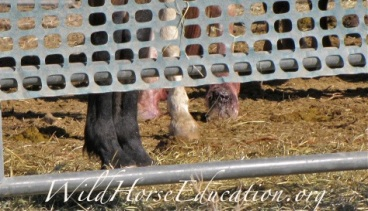 A picture taken under the snow fence at temporary of wild horse feet after capture at High Rock