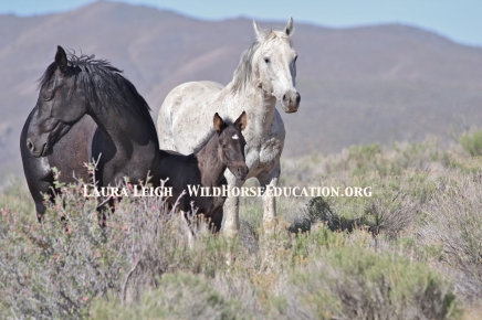 A beautiful wild horse family on Nevada BLM land.