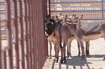 Burros seeking shade awaiting adoption at PVC