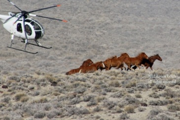 Stone Cabin in 2012. The first removal of wild horses ever happened at Stone Cabin with Velma Johnson present to oversee.